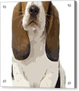 Basset Hound Puppy Acrylic Print