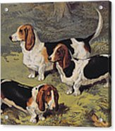 Basset Hounds Acrylic Print by English School