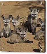 Bat-eared Fox Pups Acrylic Print