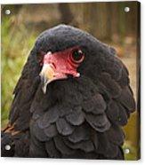 Bateleur Eagle Zimbabwe Acrylic Print