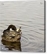 Bathing Time For This Goose Acrylic Print