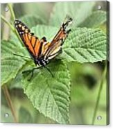 Battered Butterfly Acrylic Print
