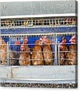 Battery Hens On A Farm Acrylic Print