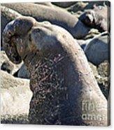 Bull Elephant Seal Battle Scars Acrylic Print