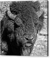 Battle Worn Bull Acrylic Print