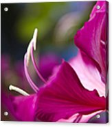 Bauhinia Purpurea - Hawaiian Orchid Tree Acrylic Print