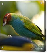 Bay-headed Tanager - Tangara Gyrola Acrylic Print