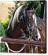 Bay Pinto Amish Buggy Horse Acrylic Print