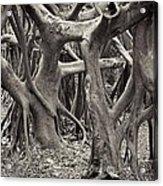 Baynan Roots Acrylic Print