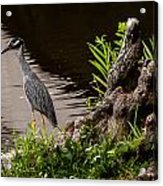 Bayou Bird Acrylic Print