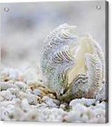 Beach Clam Acrylic Print