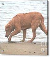 Beach Comber Acrylic Print