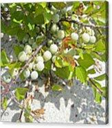 Beach Plum - Prunus Maritima - Island Beach State Park Nj Acrylic Print
