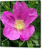Pink Beach Rose Fully In Bloom Acrylic Print