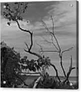 beach tree BW Acrylic Print