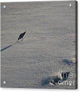 Beachcombing Plover Acrylic Print
