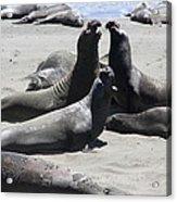 Beachmasters - Elephant Seals Acrylic Print