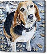 Beagle In Autumn Acrylic Print