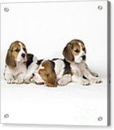 Beagle Puppies, Row Of Three, Second Acrylic Print