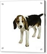 Beagle Puppy Acrylic Print by Lesley Rigg