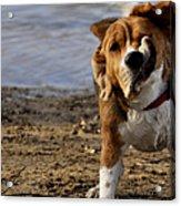 Beagle Shake Acrylic Print