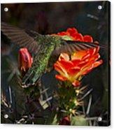 Beak Deep In Nectar  Acrylic Print