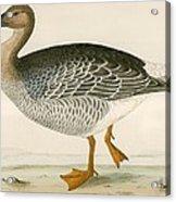 Bean Goose Acrylic Print