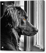Bear At Window Acrylic Print
