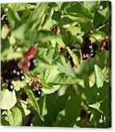 Bear Berries Acrylic Print