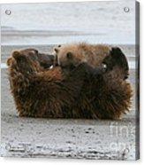 Bear Cubs Nurse Acrylic Print