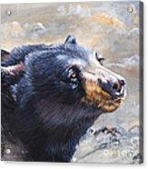 Four Winds Bear Acrylic Print