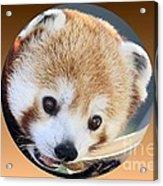 Bear In A Ball Acrylic Print