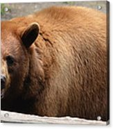 Bear In The Bath Acrylic Print