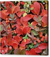 Bearberry In Autumn Yukon Canada Acrylic Print