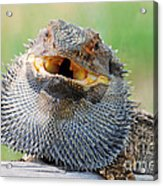 Bearded Dragon In Defense Mode Acrylic Print by Christopher Edmunds