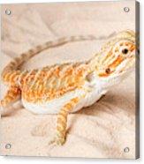 Bearded Dragon Pogona Sp. On Sand Acrylic Print