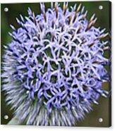 Bearded Flower Acrylic Print