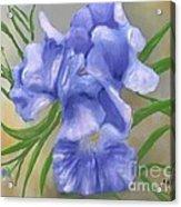 Bearded Iris Blue Iris Floral  Acrylic Print