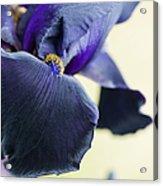 Bearded Iris Interpol Acrylic Print