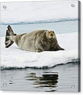 Bearded Seal On Ice Floe Norway Acrylic Print