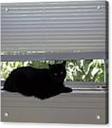 Beare On Window Acrylic Print
