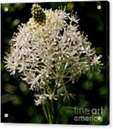 Beargrass Bloom Acrylic Print