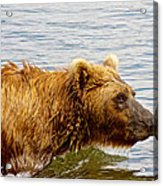 Bear's Eye View Of Swimming Grizzly In Moraine River In Katmai Acrylic Print