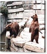 Bears Feeding Time At The Zoo II Acrylic Print