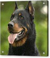 Beauceron Dog Acrylic Print