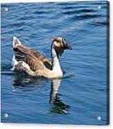 Beautiful African Brown Goose Acrylic Print