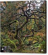 Beautiful And Bare Japanese Lace-leaf Maple Tree Acrylic Print