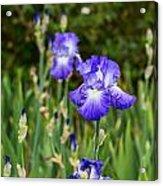 Beautiful And Colorful Iris. Acrylic Print