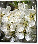 Beautiful Apple Blossoms Acrylic Print