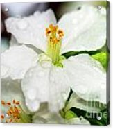 Beautiful Apple Flower With Water Drops Acrylic Print